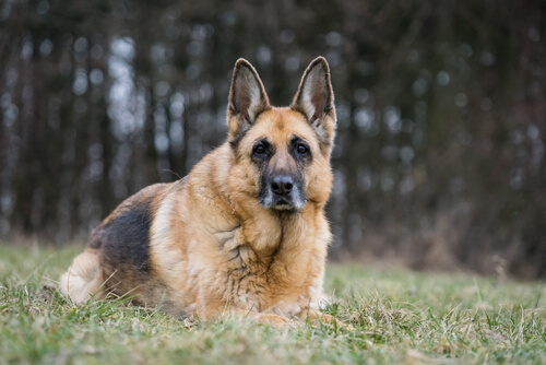 Caring For Senior Dogs German Shepherd Edition Dgp For Pets